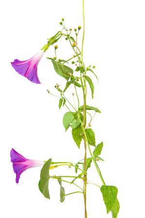 morning glory purpurea flowers on isolated on white background
