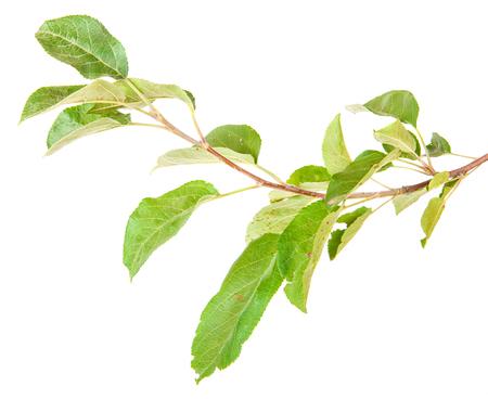 albero di mele: ramo di un albero di mele con foglie isolato su sfondo bianco