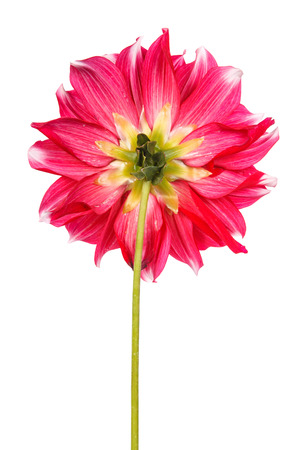 seed bed: dahlia flower isolated on white background