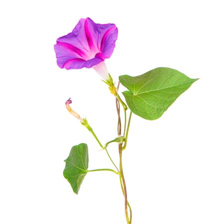 morning glory flowers on isolated on white background