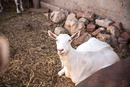 barnyard: barnyard animals in a pen Stock Photo