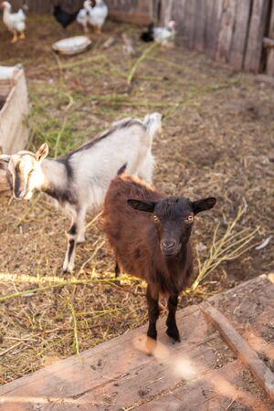 farmyard: goats in the farmyard in the paddock