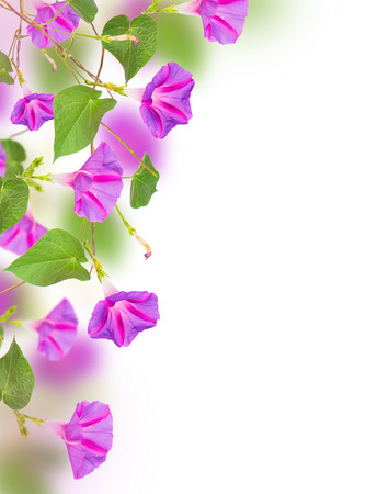 seed bed: morning glory flowers