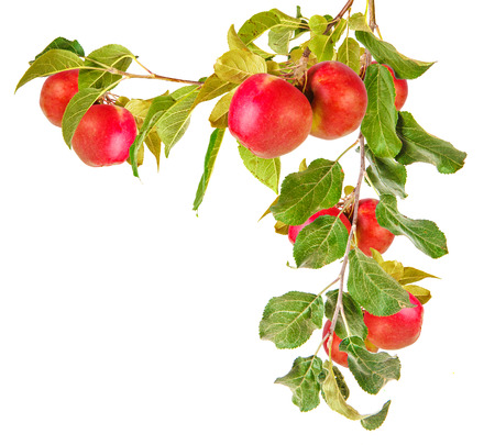 リンゴの木の枝と葉で孤立した白い背景