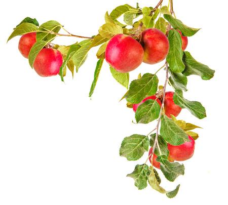 Manzana rama de un árbol con hojas aisladas sobre fondo blanco Foto de archivo - 44372552