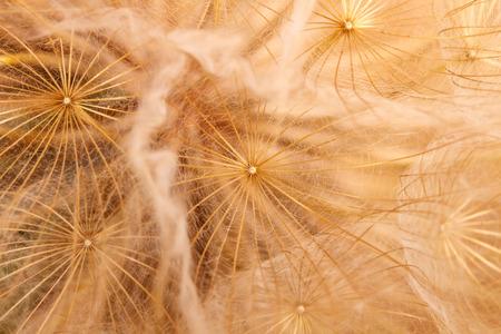 fuzz dandelion closeup. macro background