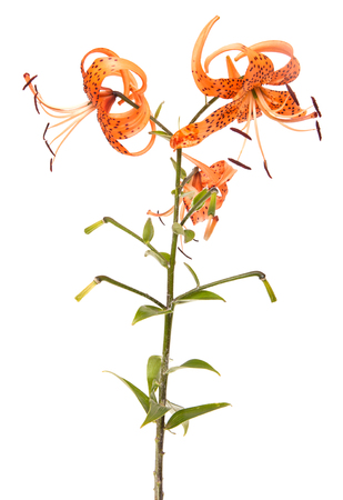 tiger lily flower isolated on white background