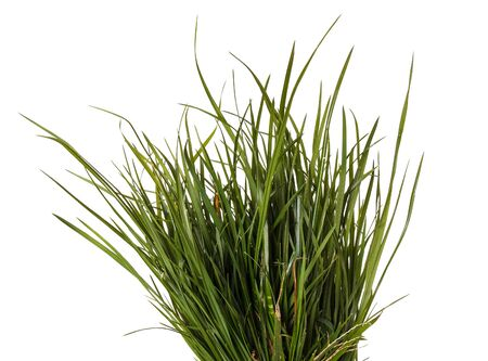 glades: bundle of green grass isolated on white background Stock Photo