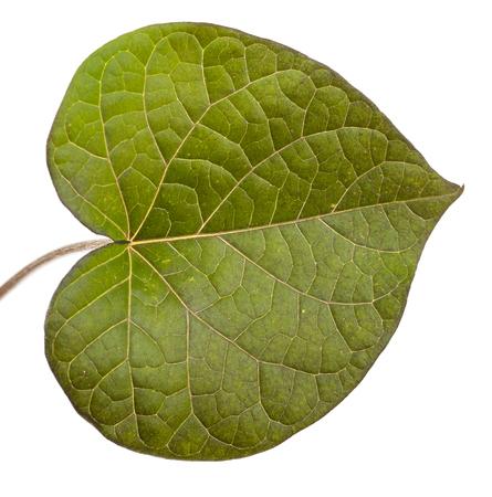 gloria: flower green leaf Morning Glory on a white background