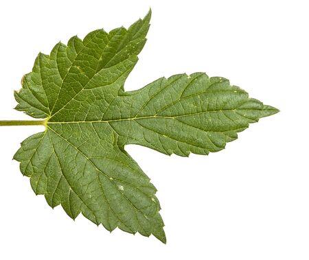 green leaf hops. isolated on white background Stock Photo