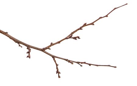 sucha gałąź drzewa morelowego. na białym tle