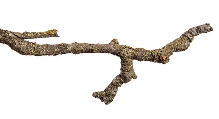 dry pear tree branch with cracked bark. isolated on white Standard-Bild