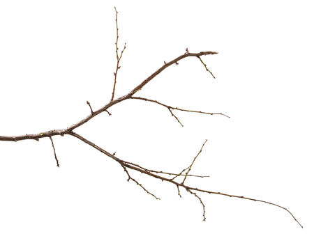 dry branch of the plum tree. isolated on white
