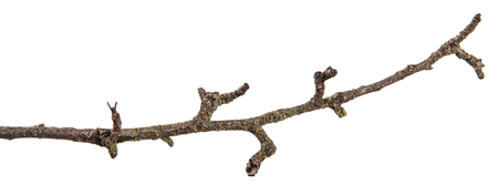 part of a dry branch of a dead pear tree. isolated on white