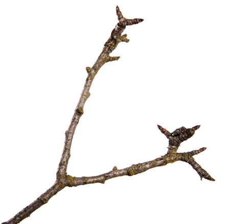 dry cracked pear tree branch. isolated on white