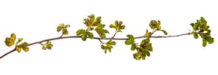 rama de grosella con hojas afectadas por la enfermedad. aislado en blanco