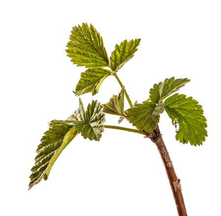 raspberry bush with young green leaves. isolated on white Imagens