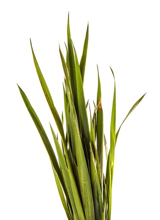 bunch of young green grass. isolated on white 版權商用圖片