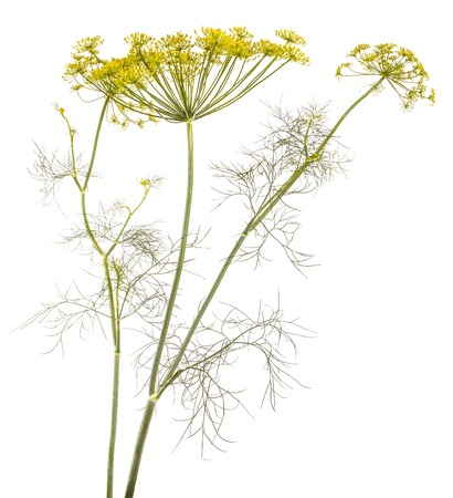 Blossoming dill isolated on white