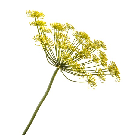 Blossoming dill isolated on white Foto de archivo