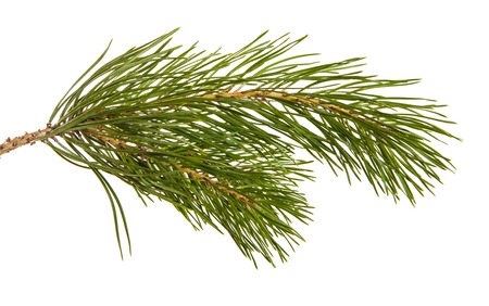 A branch of a pine tree. Isolated on white
