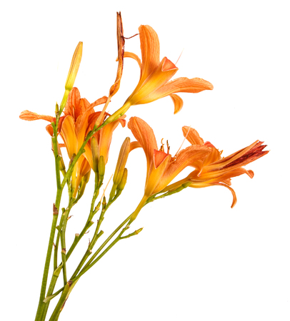 Flower of an orange daylily isolated on a white Stock Photo