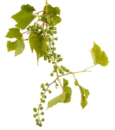 Clusters of young unripe grapes on the vine. Isolated on white Reklamní fotografie