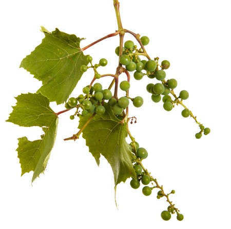 Clusters of young unripe grapes on the vine. Isolated on white