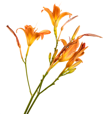 Flower of an orange daylily isolated on a white Foto de archivo