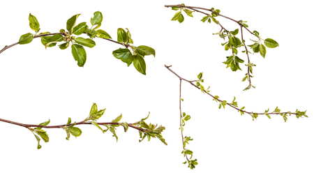 Branch of an apple tree with young green leaves. Isolated on white. Set