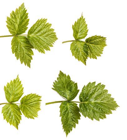 Young green raspberry sprout with green leaves. Isolated on white. Set