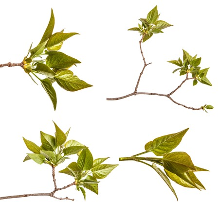 A branch of a lilac bush with young green leaves. Isolated on white. Set Archivio Fotografico