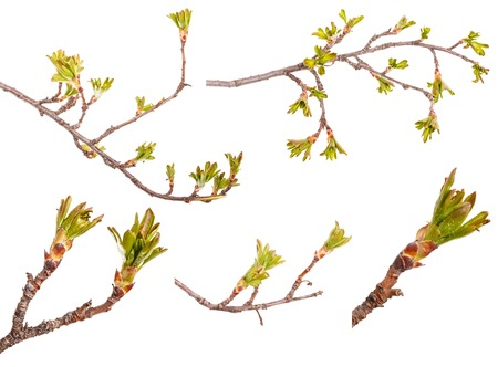 Branches of currant bush with leaves. Set