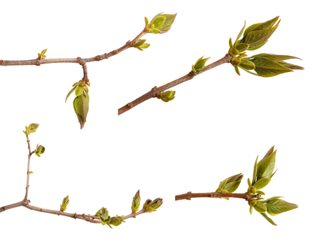 Young green leaves on a lilac branch on a white. Set