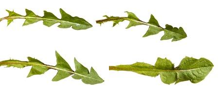 Green dandelion leaves. Isolated on white. Set Stock fotó