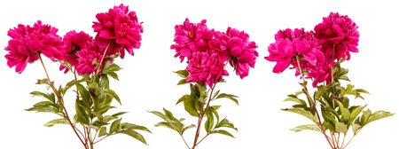Bouquet of red peony flowers. Isolated on white. Set 免版税图像