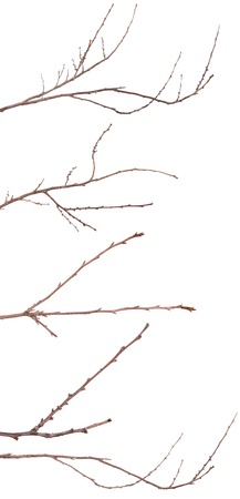 tree branch with buds unblown. Isolated on white. Set Stock Photo