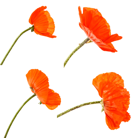 A bud of an orange blooming poppy. Isolated on white. Set Imagens