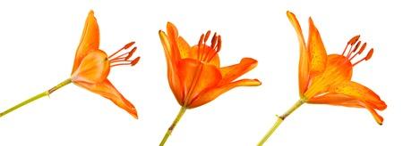 Blooming orange bud of the daylily. Isolated on white. Set Stock Photo