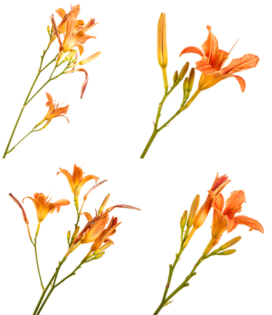 Flower of an orange daylily isolated on a white. Set
