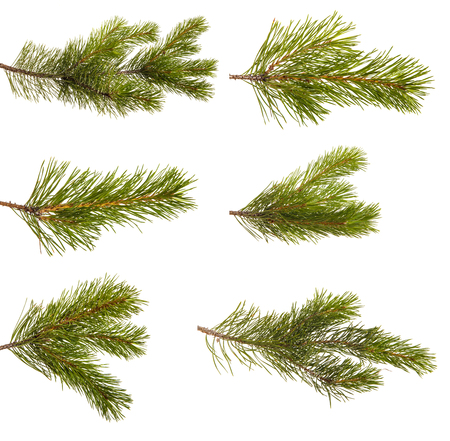 A branch of a pine tree. Isolated on white. Set