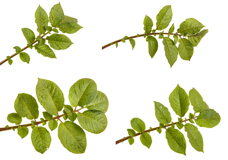 Part of a potato bush with green leaves. Isolated on white