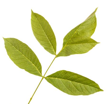 Walnut leaves isolated on white
