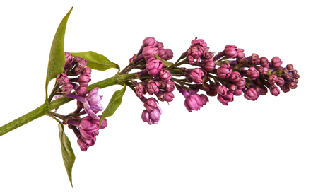 Blooming lilac flowers. Isolated on white