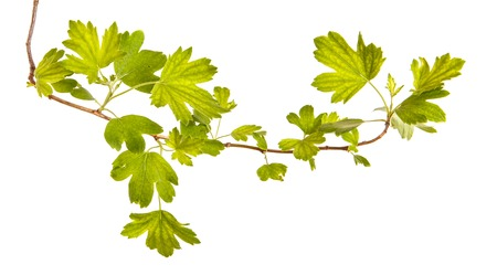 A branch of a currant bush with young green leaves. Isolated on white