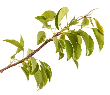 branch of pear tree with young green leaves. Isolated on white