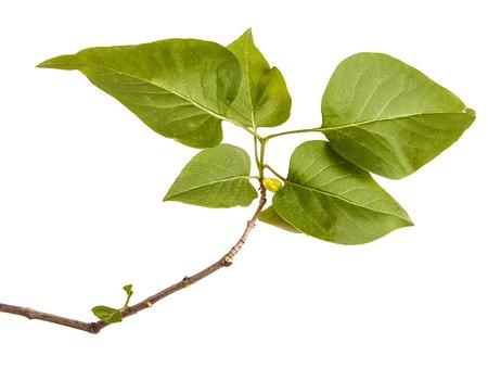Ein Zweig eines Fliederbuschs. Isoliert auf weiß Standard-Bild