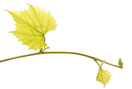 Part of a young vine with leaves. Isolated on white Imagens