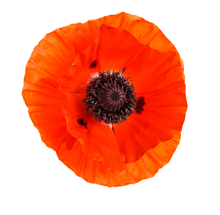 A bud of an orange blooming poppy. Isolated on white