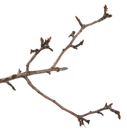 Dry branches of a pear tree isolated on a white Imagens